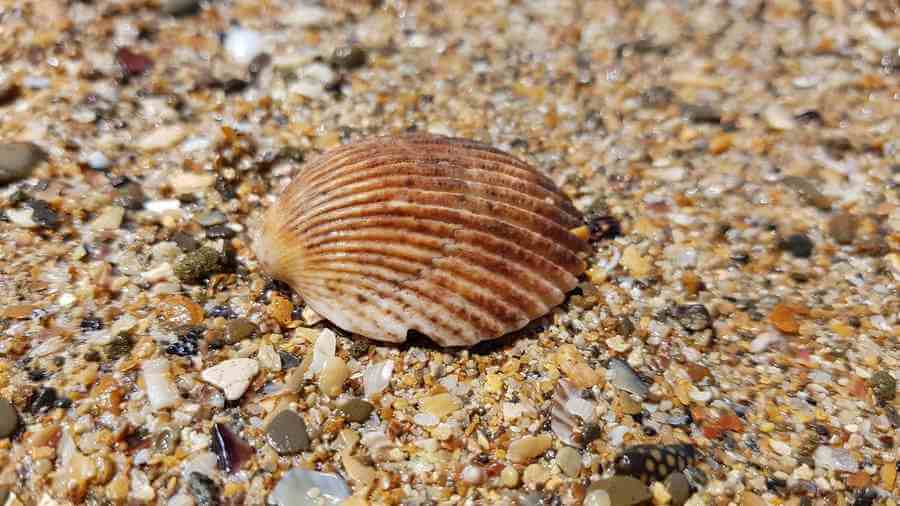 sea shells brown