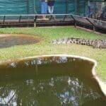 Do Crocodiles Swim In The Ocean In Australia?