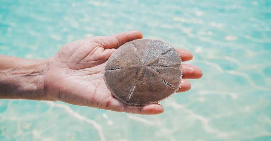 How Can You Tell How Old A Sand Dollar Is